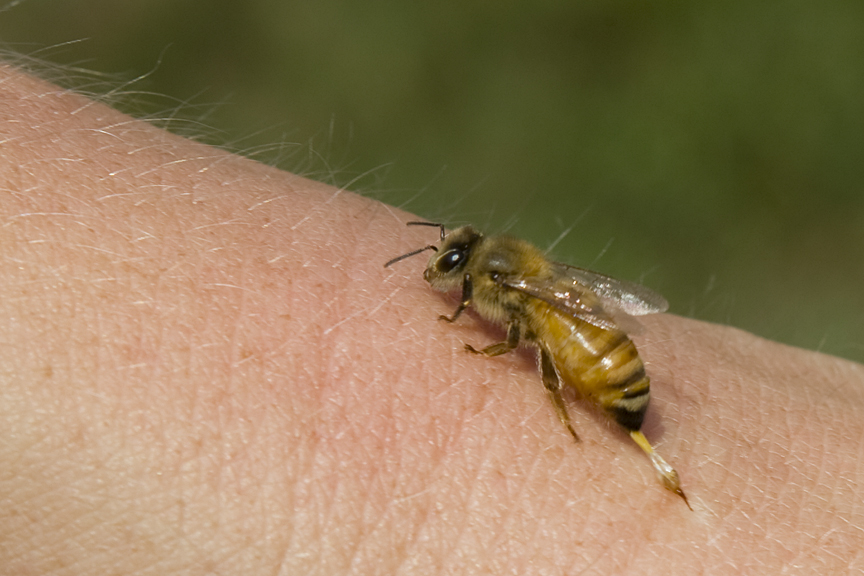 How to treat a bee sting with tobacco