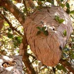 tree-wasp-nest