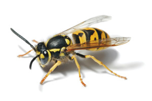 Photograph of a wasp on white background.
