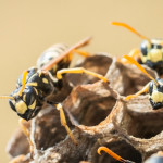 Wasps at nest.