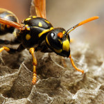 Natural Wasp Repellent