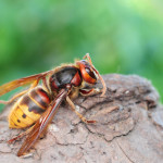 European giant hornet close up