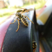 wasp in car